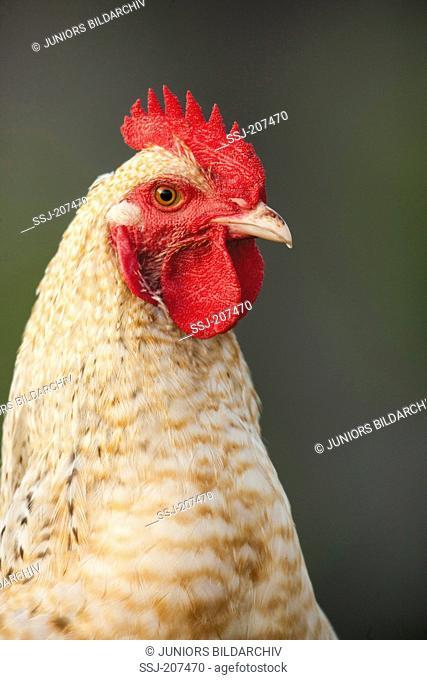 Niederrheiner Chicken. Portrait of a rooster. Germany