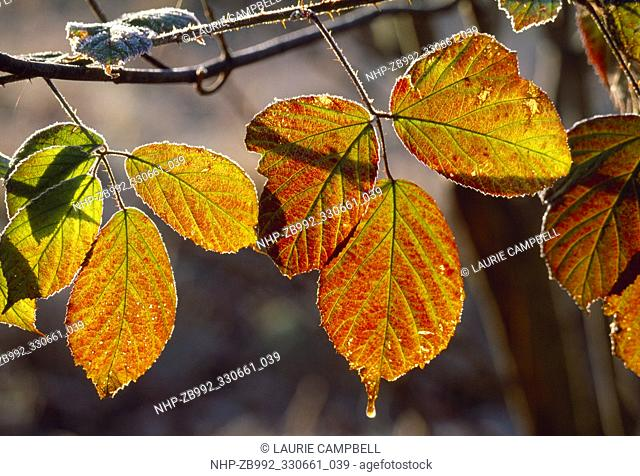 Bramble / Blackberry (Rubus fruticosus) frosted leaves, Berwickshire, Scotland, January 1999