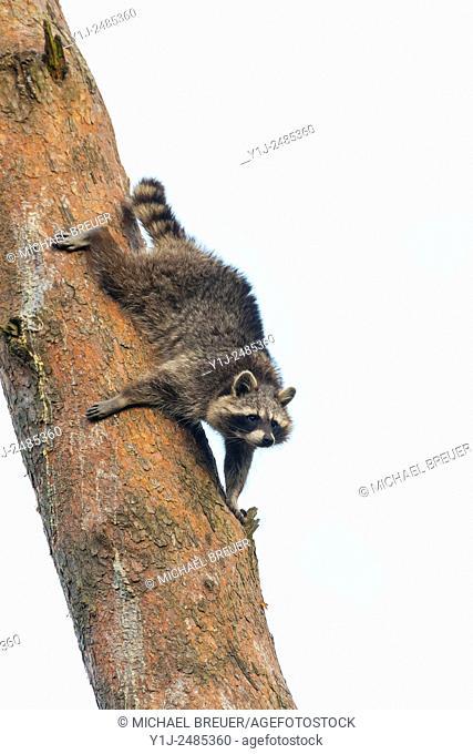 Raccoon (Procyon lotor) on Tree, Hesse, Germany, Europe