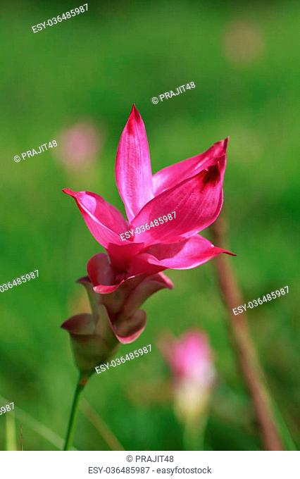 Wild siam tulips blooming in the jungle in Chaiyaphum province, Thailand