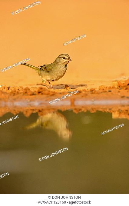 Golden-crowned warbler (Basileuterus culicivorus), Santa Clara Ranch, Starr County, Texas, USA