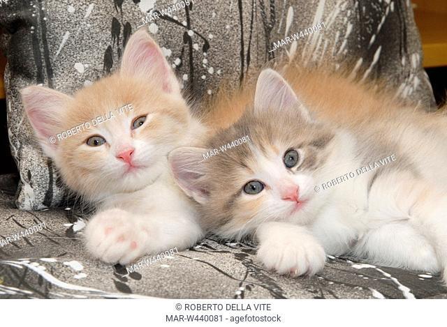 turkish angora, kittens