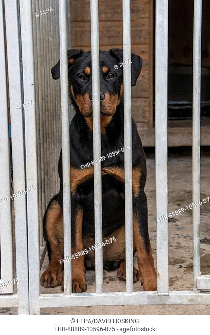 Seven month old Rottweiler in outdoor kennel