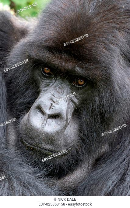 A male silverback gorilla is looking straight at the camera with his arm over his shoulder. Behind his head and shoulders can be seen part of the green canopy...