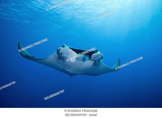 Giant Manta (Manta Birostris) gracefully glides out of deep blue to surface