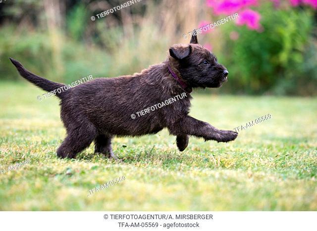 Berger Picard Dog Puppy