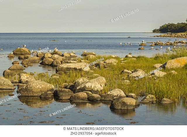 Ocean view from Kivik with Gulls on the rocks and Canadien goose swiming in the ocean, evening time with nice warm colors, Kivik, Sweden