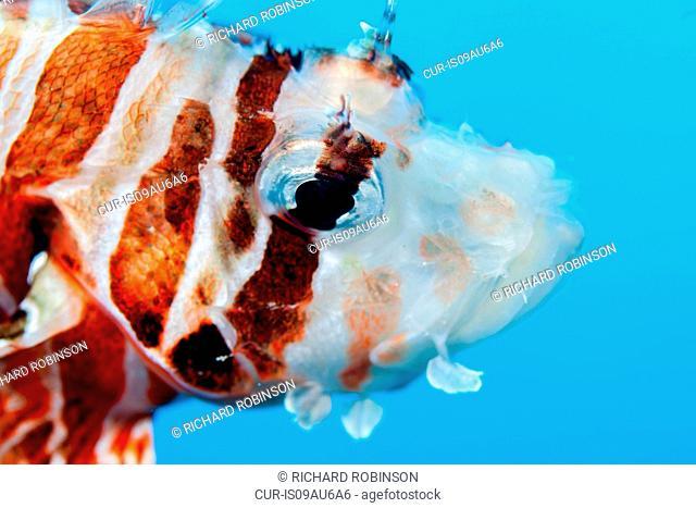 Underwater view of zebra lionfish (dendrochirus zebra) at Palmerston Atoll, Cook Islands
