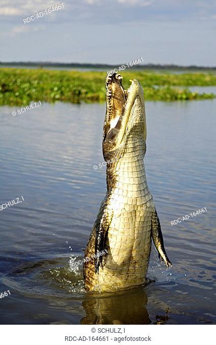 Paraguayan Caiman Pantanal Brazil Caiman crocodilus yacare Yacare Caiman