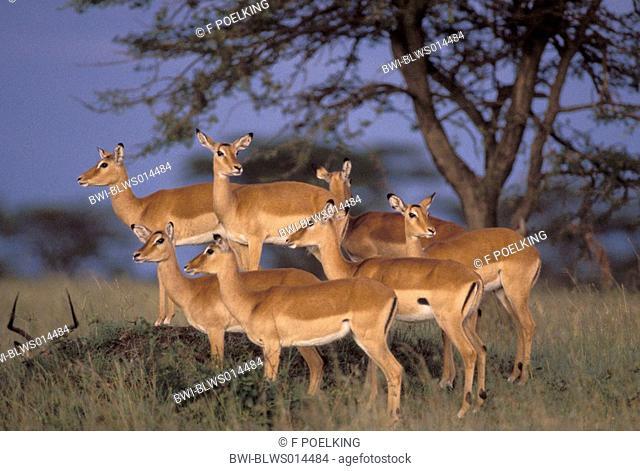 impala Aepyceros melampus, group, Kenya, Masai Mara Wildlife Reservation