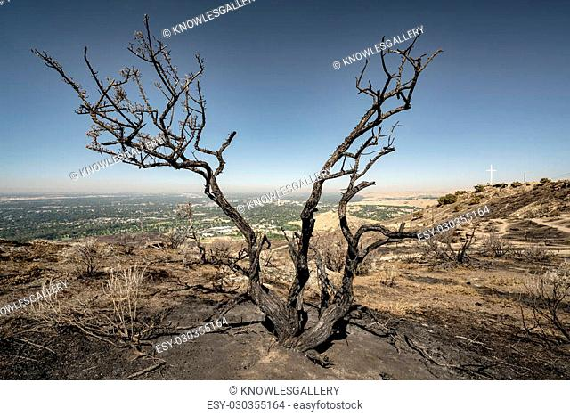 Sagebrush that has been burnt by a fire in the Boise Foothills