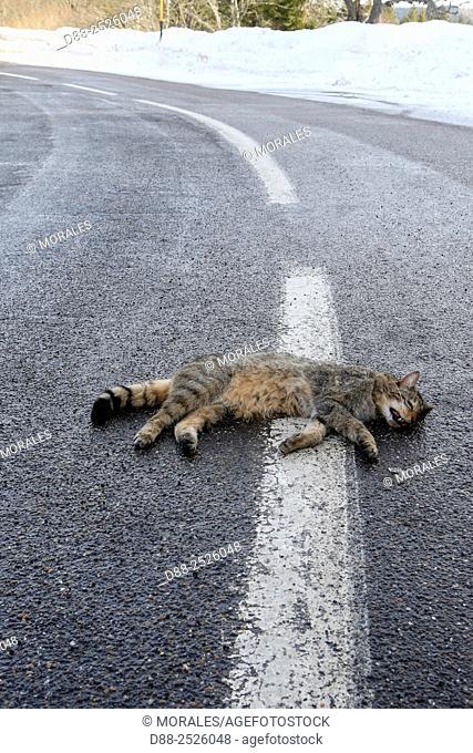 France, Alsace. Wildcat Felis silvestris, crushed on the roadside