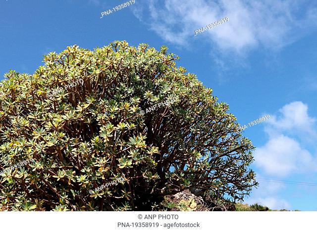 Spurge Euphorbia balsamifera - El Hierro, Canary Islands, Spain, Europe