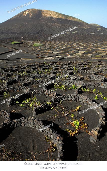Vines protected by dry walls made of lava rocks, globally unique vineyards on volcanic ash, dry field cultivation, vineyards La Geria, volcanic landscape
