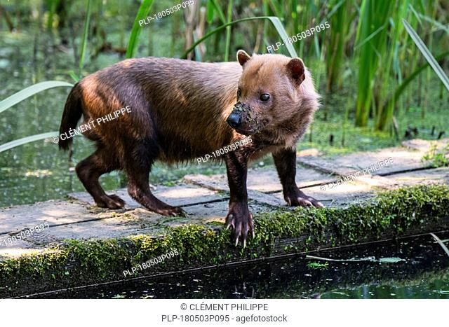 Bush dog (Speothos venaticus) canid native to Central and South America