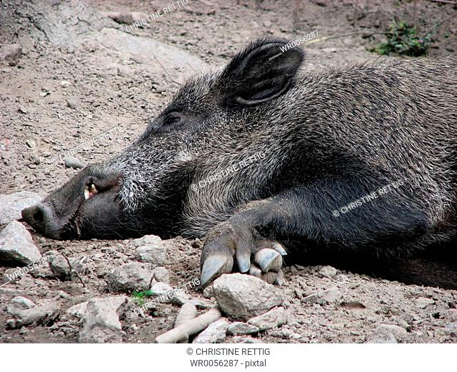 sleeping boar