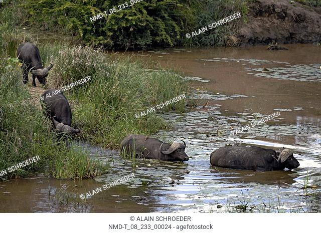 African Buffaloes crossing a river Syncerus caffer, Kruger Park, South Africa