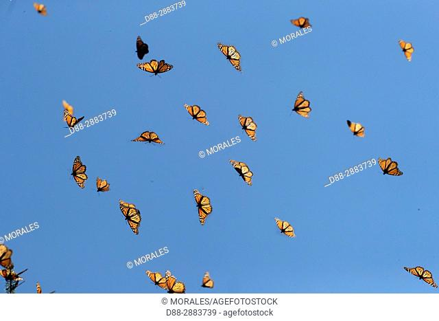 Mexico, State of Michoacan, Angangueo, Reserve of the Biosfera Monarca Sierra Chincua, monarch butterfly (Danaus plexippus)