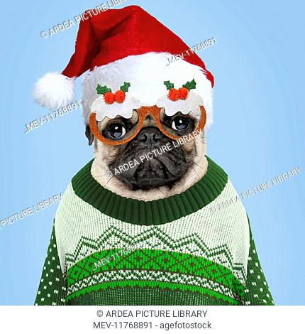 082a5c5831271 Dog Pug in Christmas jumper hat and glasses Digital Manipulation  Jumper hat    glasses PAB