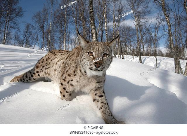 Eurasian lynx Lynx lynx, adult female walking through winter birch forest, Norway