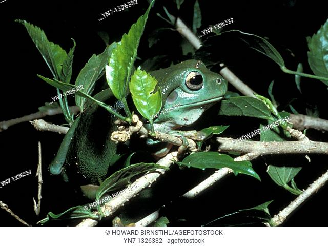Green tree frog Litorea caerulea highly camouflaged among the leaves