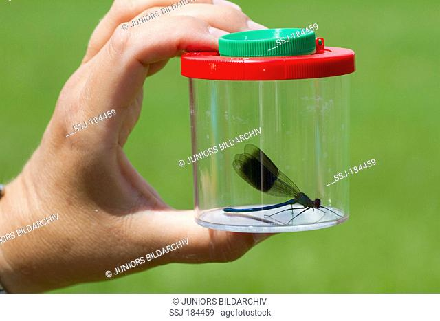 Banded Demoiselle (Calopteryx splendens) in a mug magnifying glass. Germany