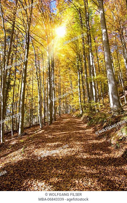 Golden October, autumn, beech forest, sunbeams