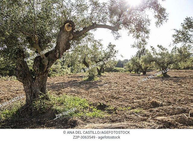 Olive tree plantation in spring. Moixent, Valencia Province, Valencian Community. Spain