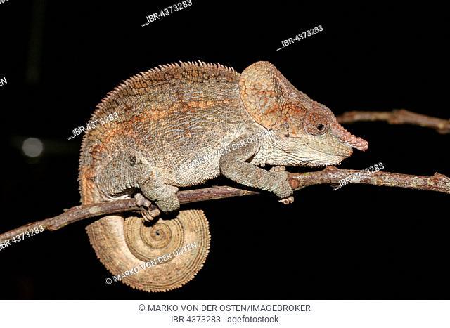 Short-horned chameleon (Calumma brevicorne) male, Analamazoatra, Andasibe-Mantadia National Park, eastern Madagascar, Madagascar