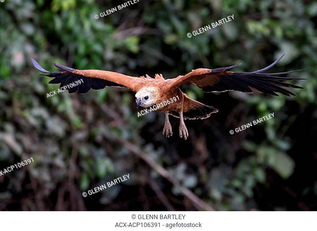 Black-collared Hawk (Busarellus nigricollis) flying in the Pantanal region of Brazil