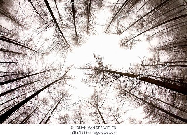 tree canopies larch