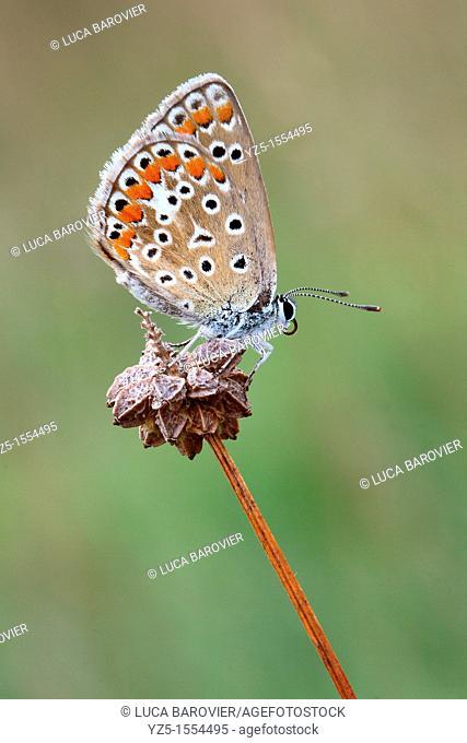 Lycaenidae - Polyommatus icarus