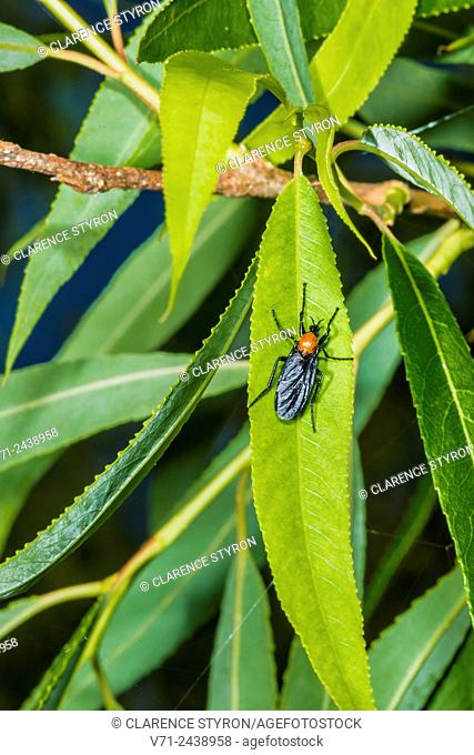 Grape Leaf Skeletonizer (Harrisina americana) on Willow (Salix caroliniana) Leaf