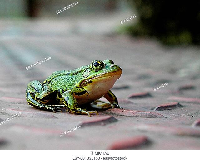 Lost frog