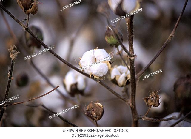 Blooming cotton plant up close