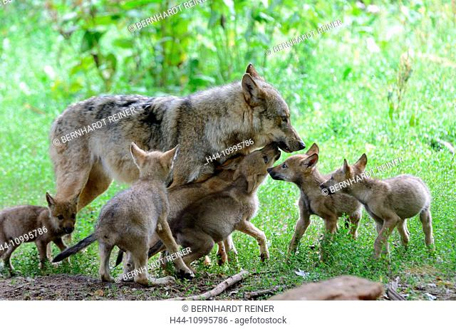 Wolves in summer