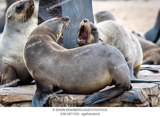Seals in confrontation at the Cape Cross Seal Reserve, located in Namibia, Africa