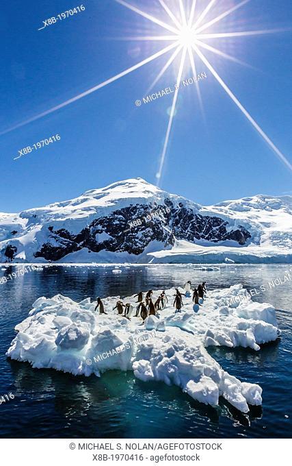Adult gentoo penguins (Pygoscelis papua) on ice in Neko Harbour, Antarctica, Southern Ocean