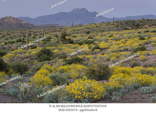 Evening over the Sonoran Desert and Superstition Mountains Arizona, yellow Brittlebush (Encelia farinosa) blooming in the foreground