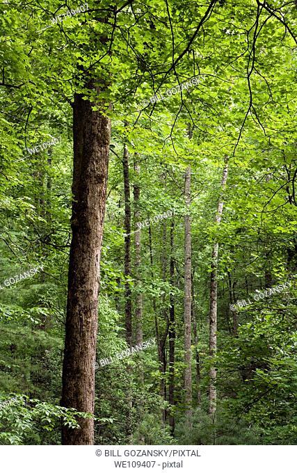 Tree Patterns - Andy Cove Trail - Pisgah National Forest, near Brevard, North Carolina, USA
