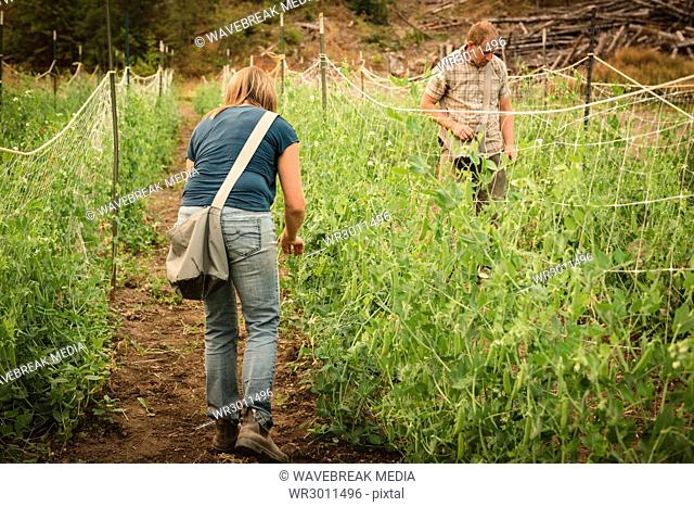 Two farmer tying the vines to boundary