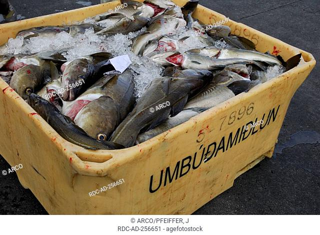 Codfish in box Iceland Gadus morhua Cod