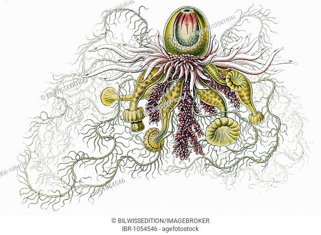 Historic illustration, tablet 7, title Siphonophorae, Hydrozoa, name Epibulia, 1/ Epibulia Ritteriana, Ernst Haeckel, Kunstformen der Natur, Artforms of Nature