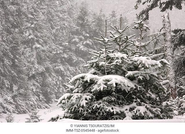 Snow covered trees near Arachova. Kellaria, Parnassos, Arachova, Viotia, Central Greece, Europe
