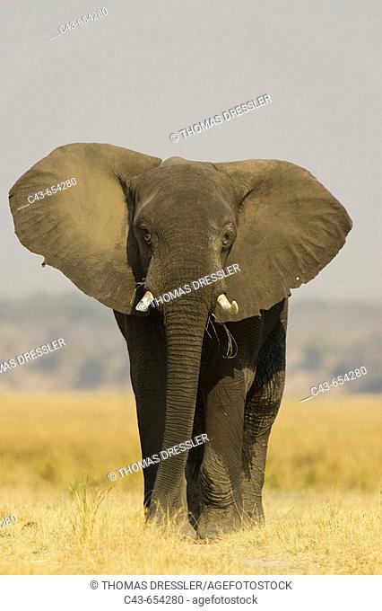 African Elephant (Loxodonta africana). Bull displays his ears in order to warn the photographer. Chobe National Park, Botswana