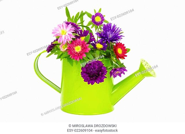 Bouquet of colorful asters flowers in a watering can