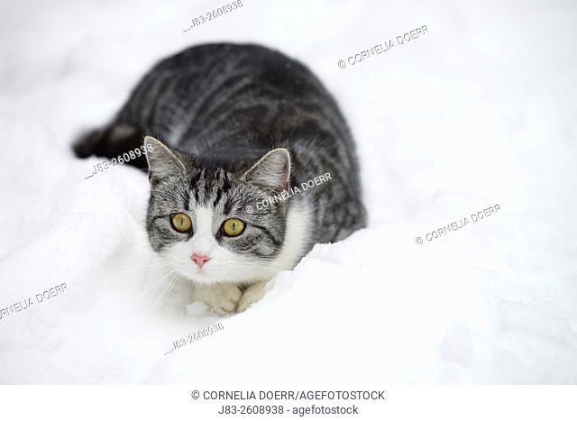 Tabby cat lying in Snow, Germany