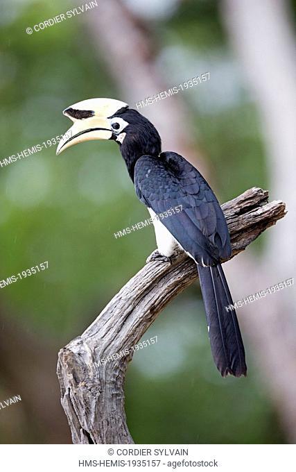 Malaysia, Sabah state, Kinabatangan river, Oriental Pied Hornbill (Anthracoceros albirostris)