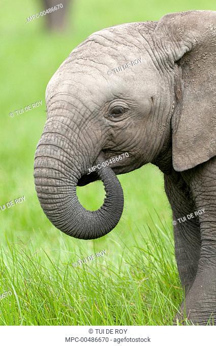 African Elephant (Loxodonta africana) calf grazing, Ol Pejeta Conservancy, Kenya