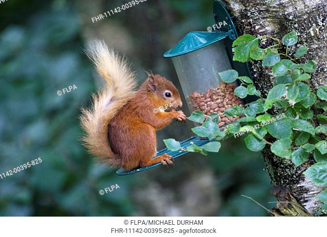 Eurasian Red Squirrel Sciurus vulgaris adult, feeding on peanuts at feeder, Dumfries and Galloway, Scotland, july